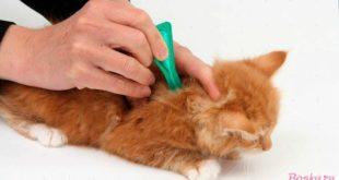 Как вывести блох у домашних кошек